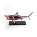 Shark Fish Anatomy Model