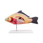 Fish Anatomy Model