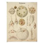 Protozoa Charts